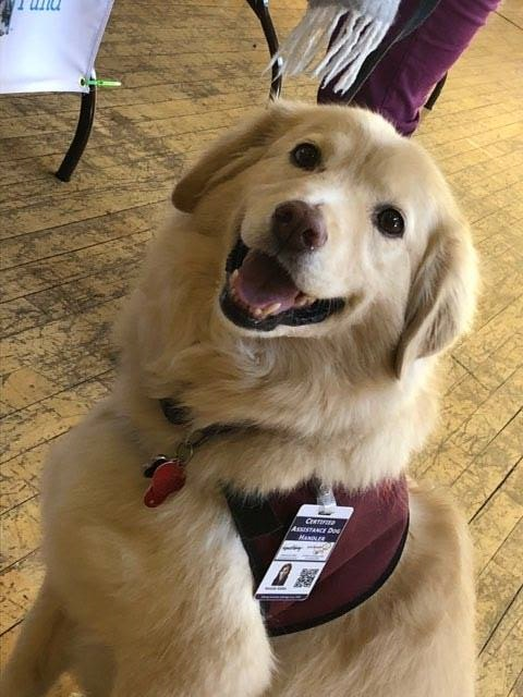 Golden-haired dog wearing a badge for certified assistance dogs.